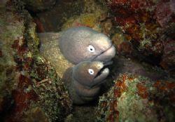 Close Up Shot On Two headed White Eye Moray Eel. by Jun Yu