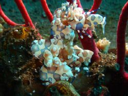 couple of harlequin shrimp tulamben had to take strob off... by Rory Ferguson