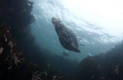 Grey seal flying by. Farne island shallows. D200, 16mm. by Derek Haslam