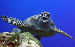 I waited for this turtle hiding behind a coral head and t... by Peter Sinclaire