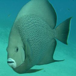 Grey Angelfish by Lora Tucker