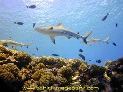Grey sharks at Manihi Atoll - Tuamotu archipelago by Eric Pinel