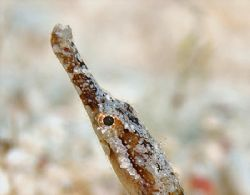 Shortfin Pipefish from Little Cayman. Nikon D200 and 105m... by Jim Chambers