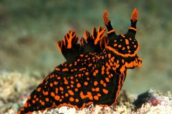 Nembrotha kubaryana. Just something about this pose that ... by Rand Mcmeins
