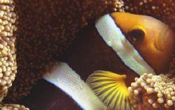 """Sorry to Wake You!""  I found this nice Clownfish sleep... by Nicolas Pohl"