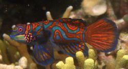 Elusive Mandarinfish, Malapascua Island, Philippines by Jason Campbell