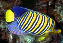 'Regal Angelfish' A good and worthy subject to 'almost' c... by Rick Tegeler