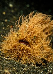 hairy frogfish by Thomas Lueken