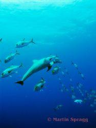Dolphin feeding in a school of jacks. Belize Barrier Reef by Martin Spragg