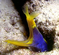 'Blue Ribbon Eel' A somewhat illusive but interesting sub... by Rick Tegeler