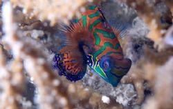 Mandarin Fish by Andy Lerner