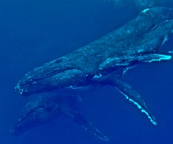 Mother humpback whale and her new born calf with her esco... by Jeannette Howard