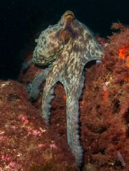 Octopus vulgaris. Bermeo, Bay of Biscay. E900, D2000. by Mikel Cortes
