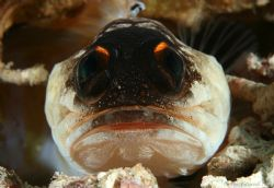 Jabba the hut jawfish.... by Alex Tattersall