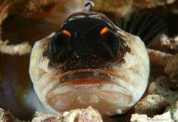 Jabba the hut jawfish.... by Alex Tattersall