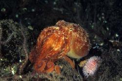 Lesser octopus. ST Abbs. Sctotland. F50, 60mm. by Derek Haslam