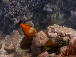 A pair of White Spotted File fish with one in orange phas... by Kaye Bosko