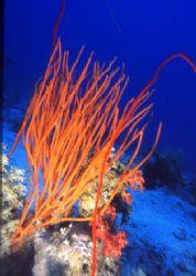 coral cebu island by Marco Zanini