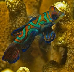 Mandarin Fish on Mandarin Fish Wall, Yap. by William Sturgeon