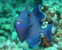 Juvenile triggerfish taken with my old Nikon Coolpix 4300... by Nikki Van Veelen