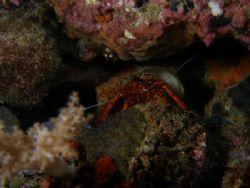 Hermit Crab night dive location divers sanctuary bauan ba... by Jun Yu