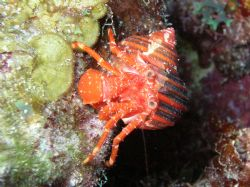 Cangrejo Ermitaño, night dive with Nikon Cooplix 4800 in ... by Jorge Alfonso Trujillo