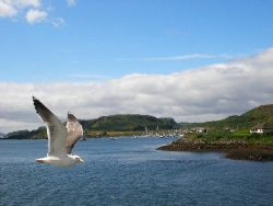 Taken in Scotland, near the Isle of Mull. The seagull kep... by Gordana Zdjelar