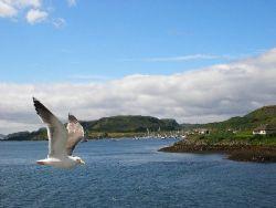 Taken in Scotland, near the Isle of Mull. The seagull kep... by Gordana Zdjelar