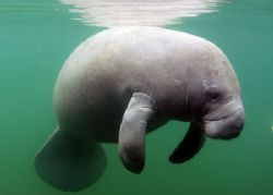 Manatee at Crystal River FL. Camera Nikon d-200 by Ray Eccleston
