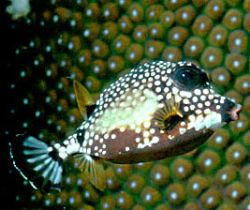 Juvenile spotted trunkfish. Curious and accommodating. Co... by Rick Tegeler