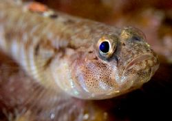 Goby. Isle of Lewis, Hebrides. D200, 60mm. by Mark Thomas