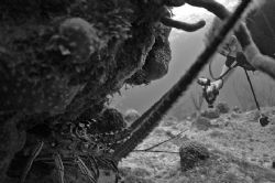 Lobster and diver. Nikon D70, 10.5 mm fisheye lens, no st... by David Heidemann