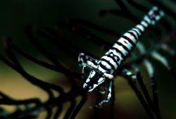 Crinoid shrimp. Nikon D100 housed with Anthis Nexus, INO... by Steve Kuo