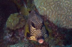 Barbados Trunkfish. Olympus E330 and Epoque 230 by Steve Laycock