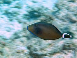 Created movement while taken a photo of this triggerfish,... by Nikki Van Veelen