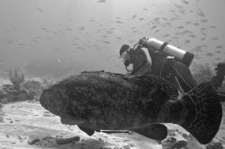 Goliath Grouper and diver. Key Largo, Forida. by David Heidemann