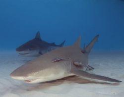 Dive Buddies, Lemon and Tiger sharks Cannon 20D,10-22,(2... by Dan Blum