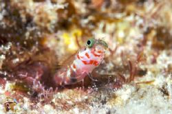 Cute Secretary Blenny by Terry Moore