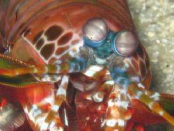 Mantis Shrimp in Bohol, PI. by Ben Nichols