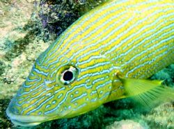 Bluestriped Grunt in Bonaire by Jessica Vinokur
