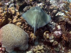Stingray in Curacao by Tim Heenan