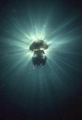 """The big Black Sea jellyfish """"Pilema pulmo"""". Sunbeams behi... by Lyubomir Klissurov"""