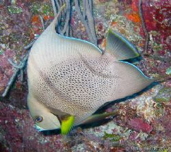 Gray Angelfish, taken with a Housed Canon S30 and interna... by Mike Smith