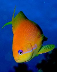 Close up of an anthias taken at Sharksbay with E300 and 5... by Nikki Van Veelen