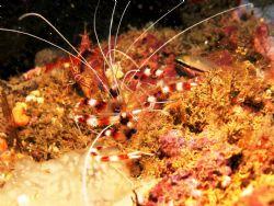 Banded Boxer Shrimps - Kilifi Kenya - Canon G6 - Ikelite ... by Lindsey Smith