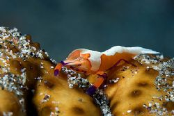 Imperial Partner shrimp on his cucumbery host... 400D by Alex Tattersall