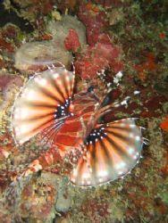 Beautiful lionfish in Port Barton, Palawan, PI by Ben Nichols