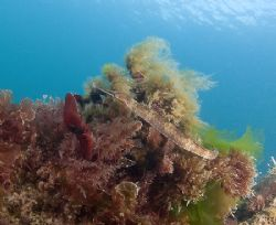 Greater pipefish. Babacombe. Devon. S2 pro, 10.5mm. by Derek Haslam