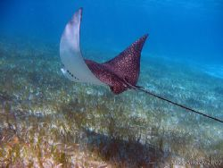 Spotted Eagle Ray, taken with a housed Canon S30 and inte... by Mike Smith