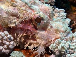 Scorpian fish- Great Barrier Reef- Aust Macro Lens by Joshua Miles
